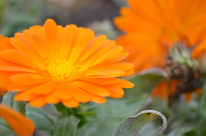 orange_Ringelblume